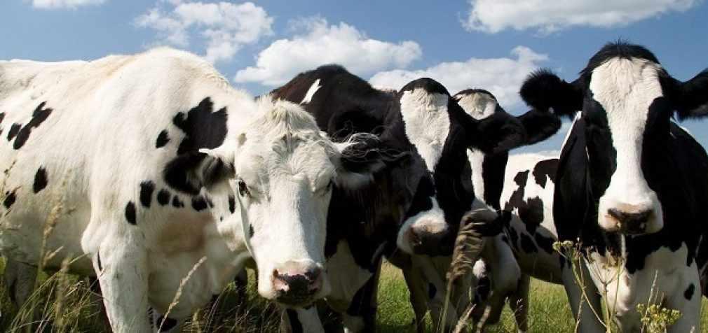 Изменение диеты коров снизит выбросы парниковых газов