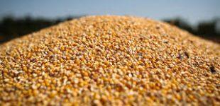 Украинская кукуруза вытесняет с рынков Азии американскую