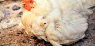 Евросоюз снял запрет на импорт мяса птицы из Украины