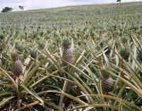 Миндаль и ананасы: аграрии Украины приспосабливаются к климату