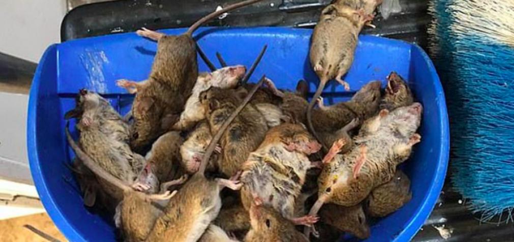 Нашествие мышей в Австралии: кусают людей и заражают лихорадкой