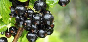 В Украине растёт спрос на чёрную смородину и чернику
