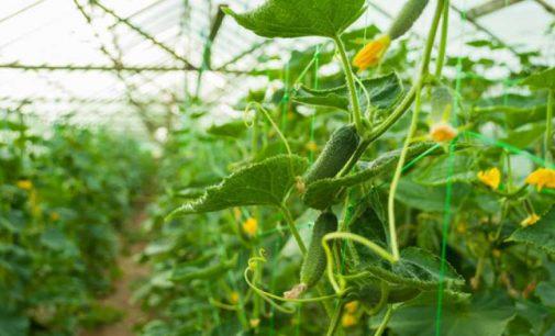 От карантина больше всего пострадали производители ранних овощей