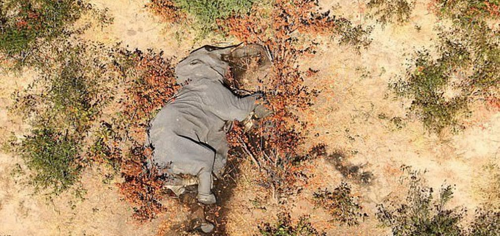 В африканской Ботсване – мор слонов: подозревают даже COVID-19